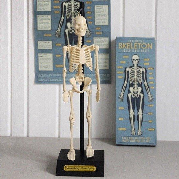 Anatomiczny model szkieletu, Rex London